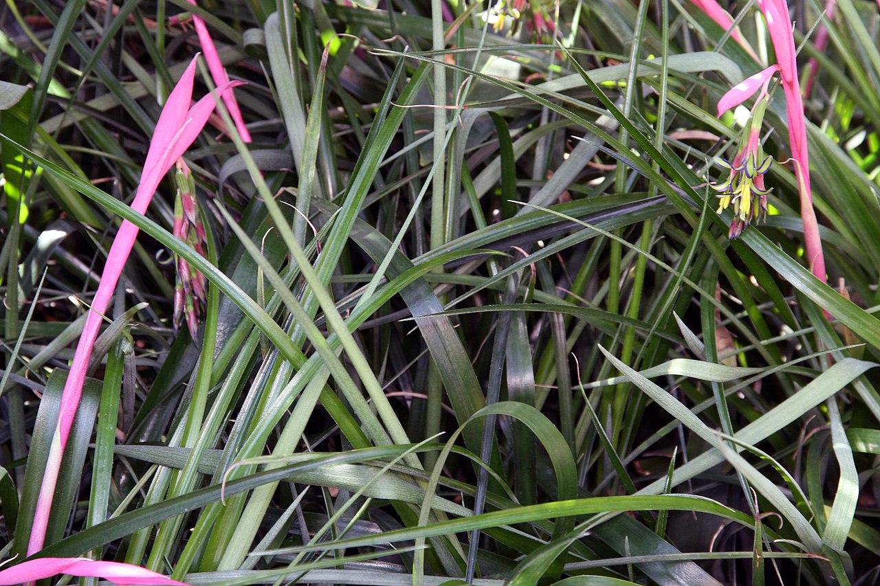 La Billbergia nutans es una bromelia epífita