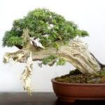Bonsái de Juniperus communis