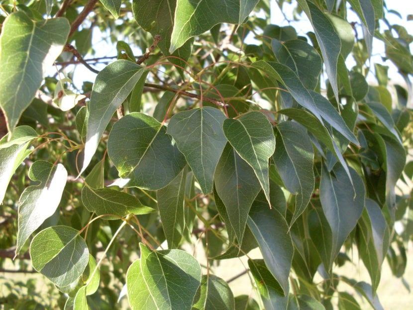 Diferencias entre rboles de hoja caduca y perenne for Arboles para jardin de hoja perenne