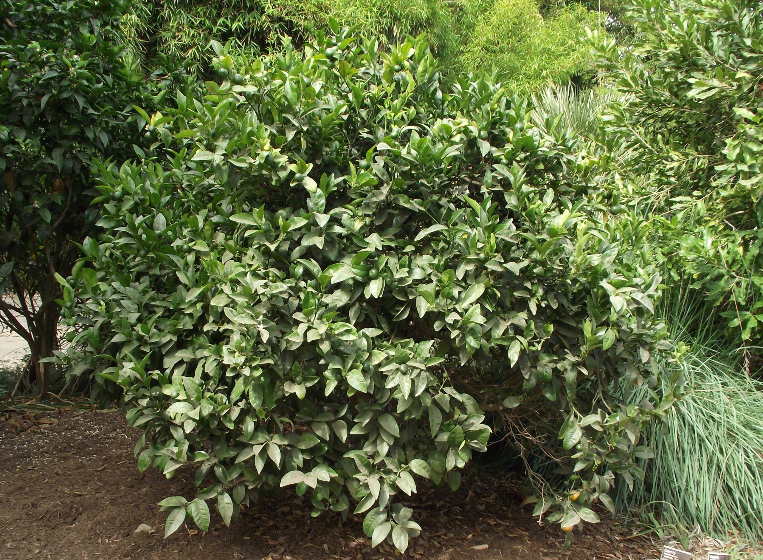 El mandarino es un árbol pequeño