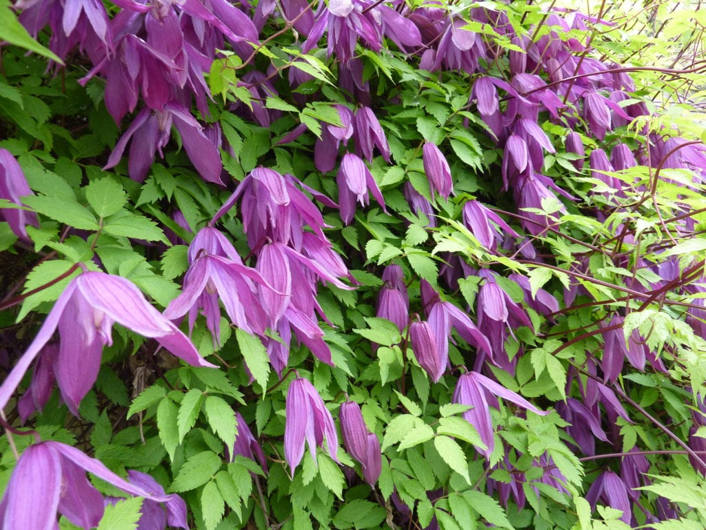 Clematis alpina 'Tage Lundell''