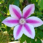 Clematis x Capitaine Thuilleaux