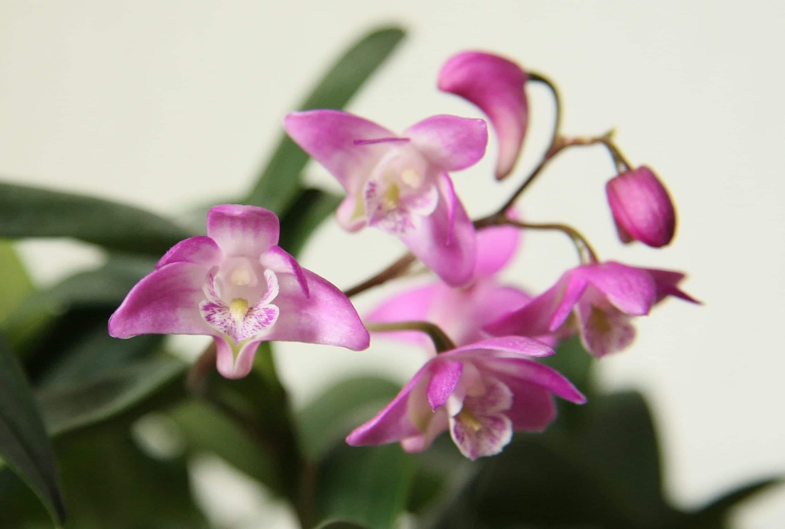 Dendrobium kinglanum