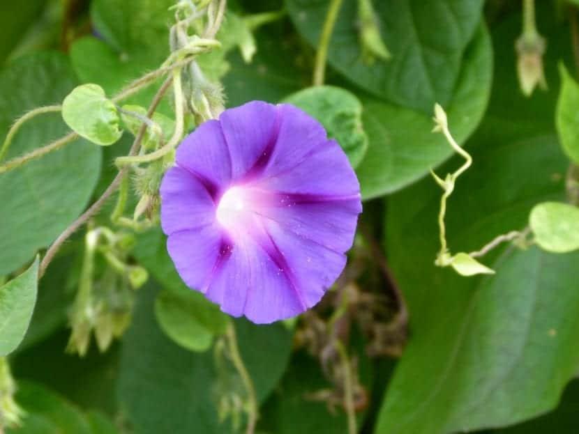 Ipomea convolvulus en flor
