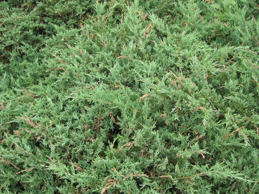Hojas de Juniperus horizontalis