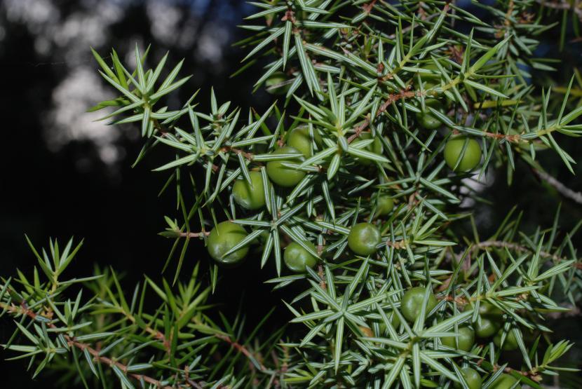 Hojas y gálbulos inmaduros del Juniperus oxycedrus