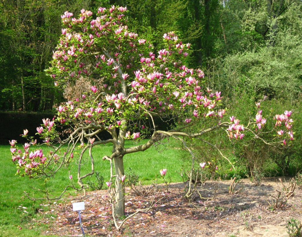 Magnolia liliflora ' Nigra'