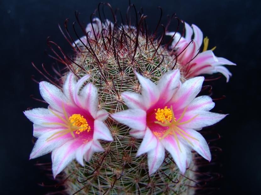 Ejemplar de Mammillaria swinglei
