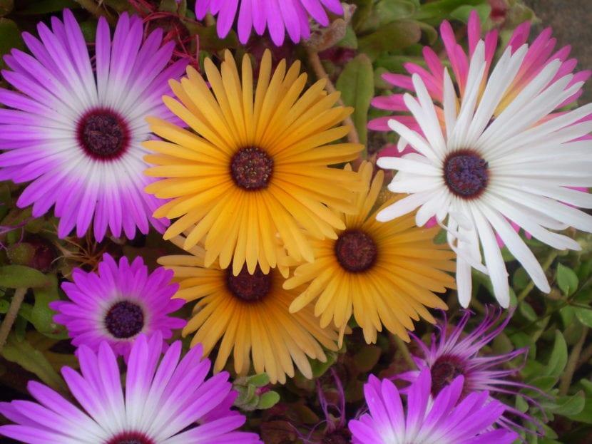 Flores del Mesembryanthemum