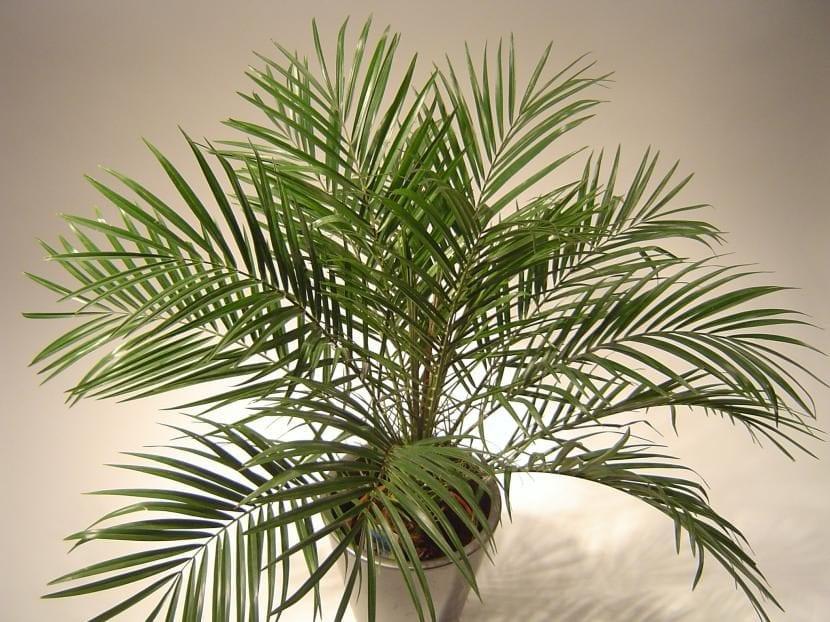Phoenix roebelenii o palmera enana en maceta