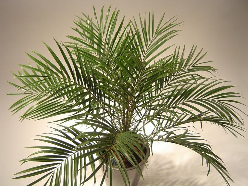 4 tipos de palmeras para tener en maceta