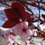 Hojas del Prunus cerasifera