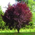 Ejemplar adulto de Prunus cerasifera 'Nigra'