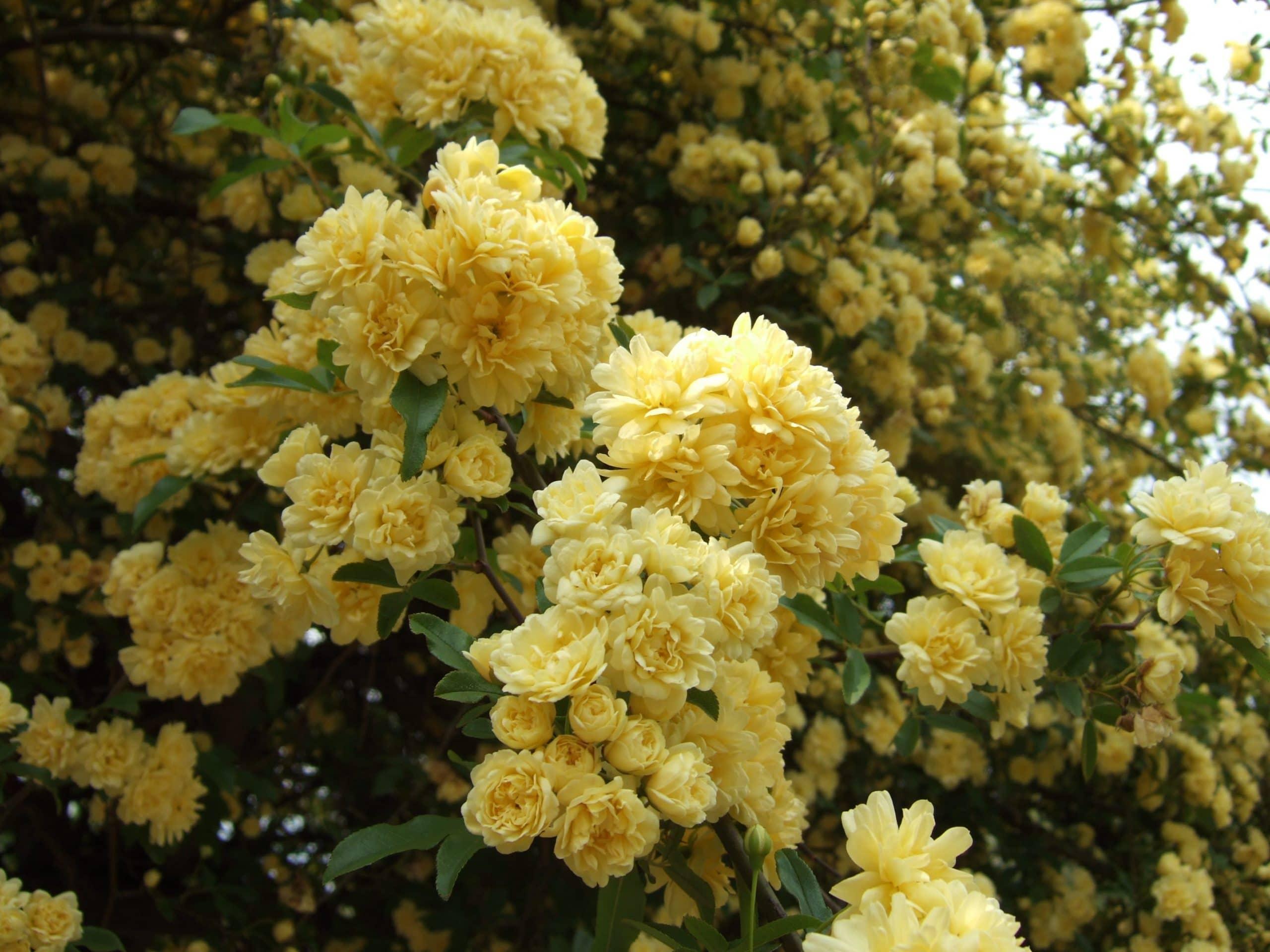 Ejemplar en flor de Rosa banksiae var. lutea