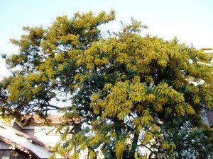 La Acacia baileyana es un árbol de rápido crecimiento
