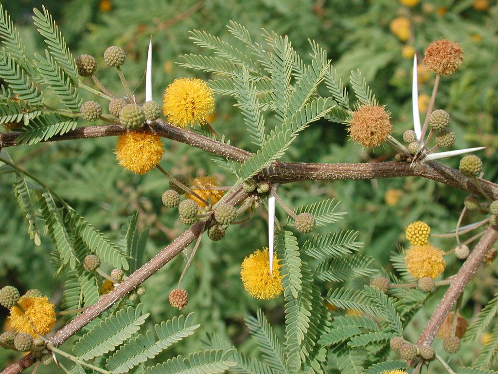 La Acacia farnesiana es un árbol espinoso
