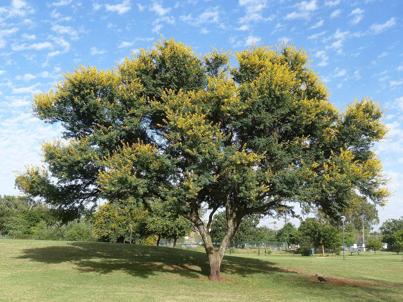La Acacia karro es un árbol perenne
