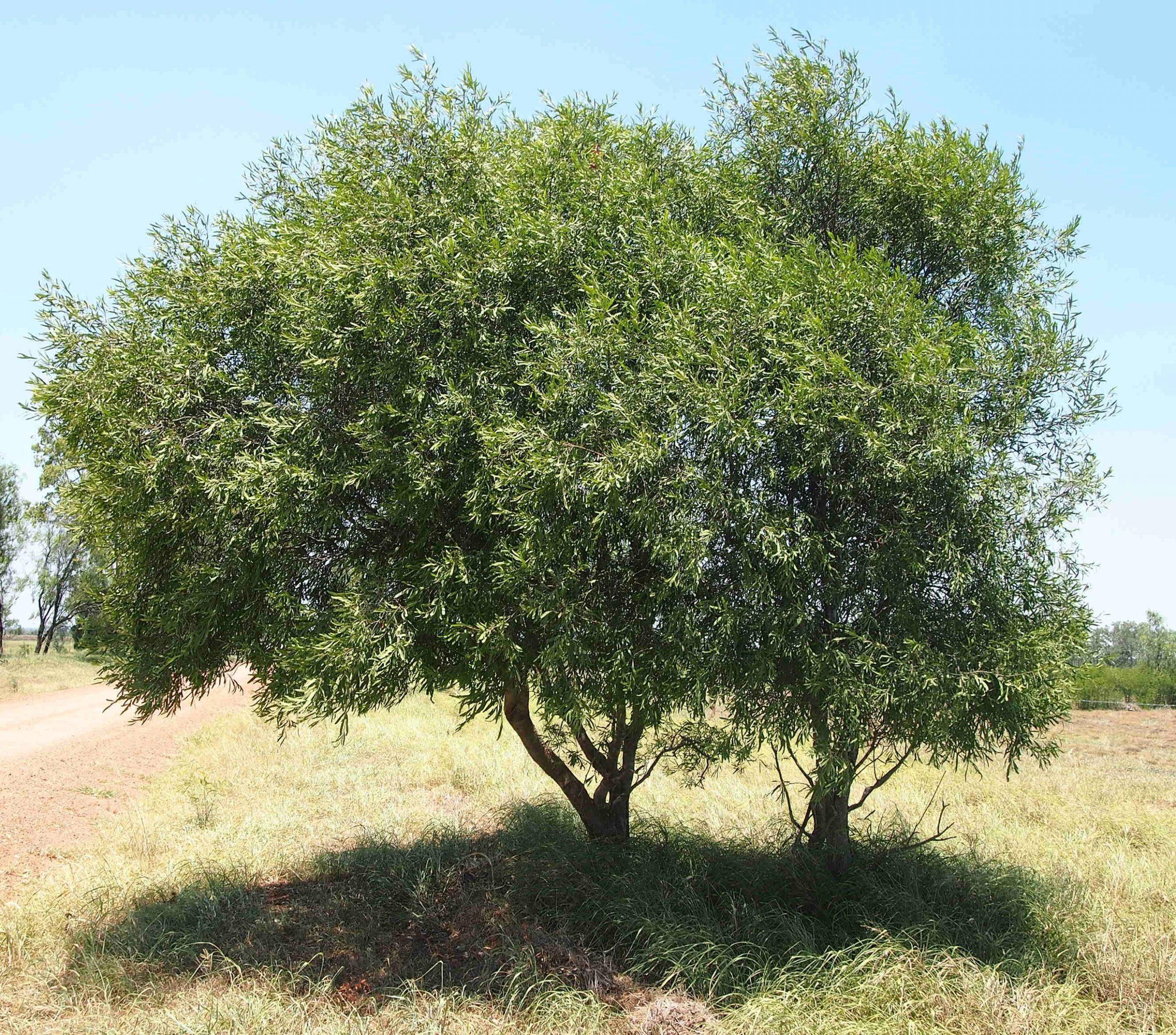 La Acacia salicina es un bonito árbol de jardín