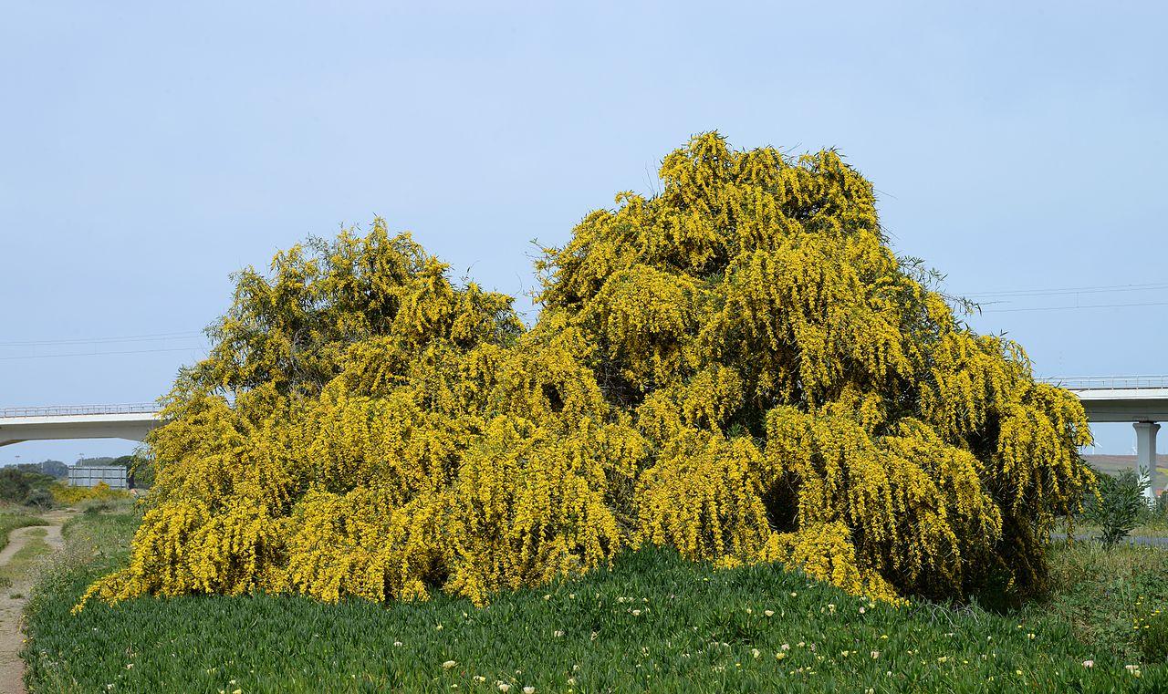 La Acacia saligna es un árbol con una copa llorona