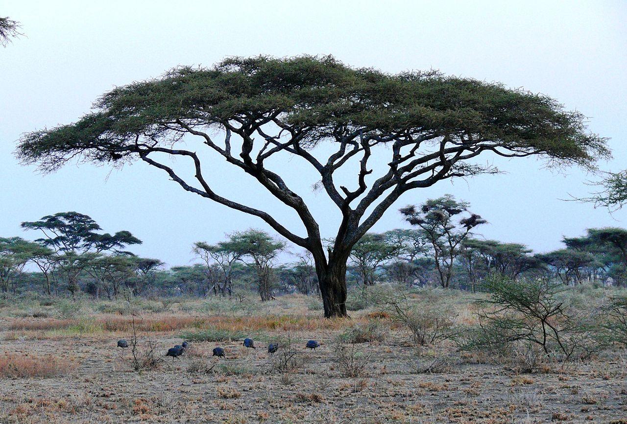 La Acacia tortilis es un árbol nativo de África
