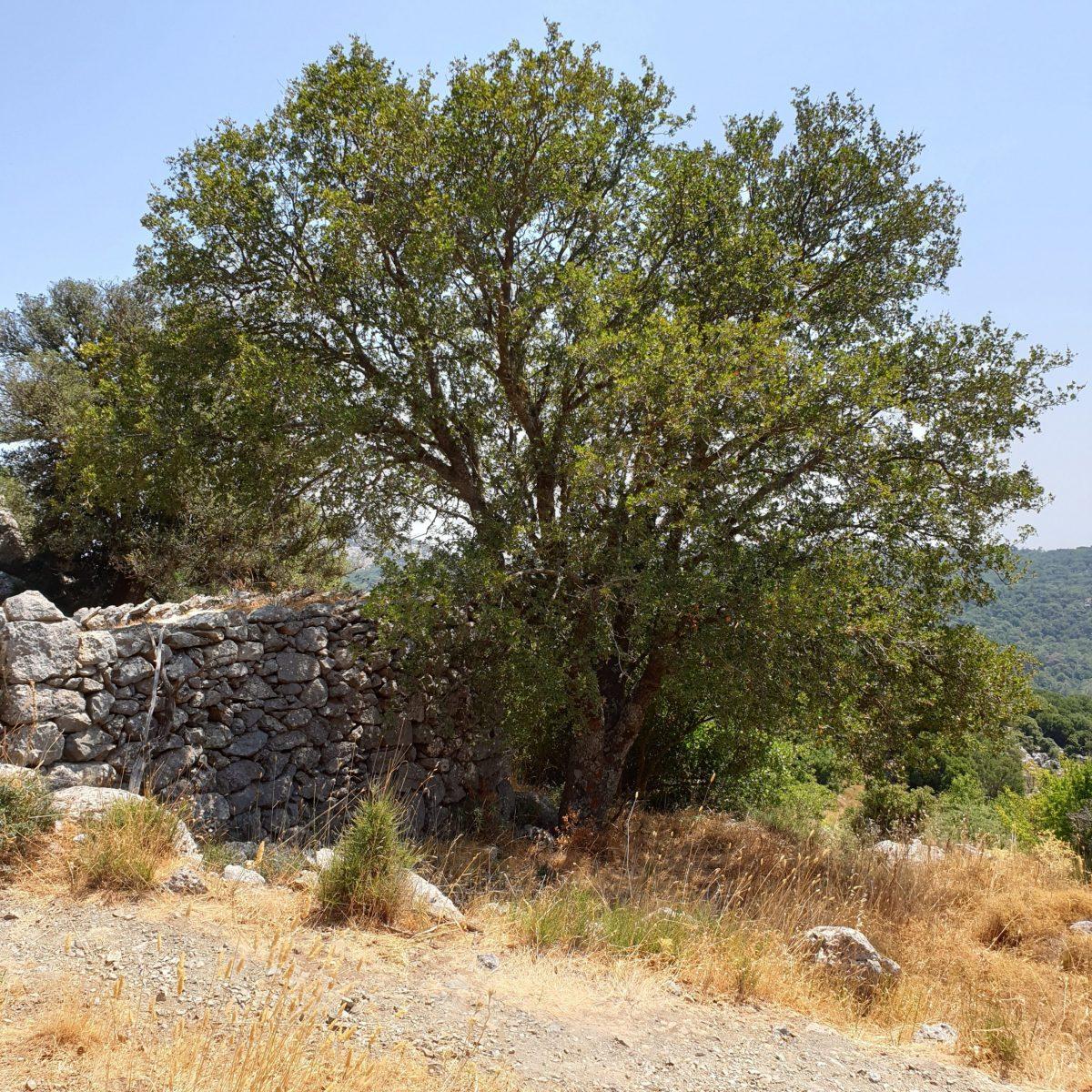 El Acer sempervirens es un árbol que vive en Europa