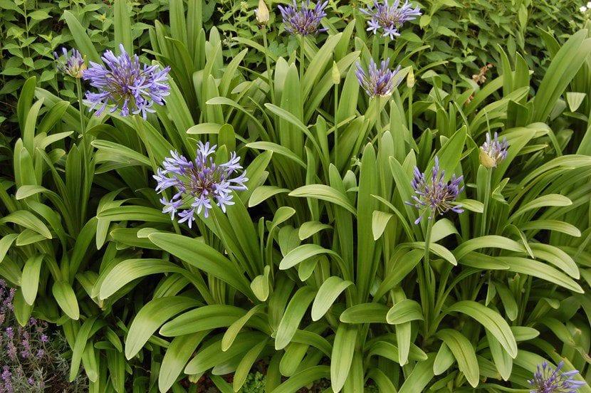 Agapanthus, una planta muy resistente