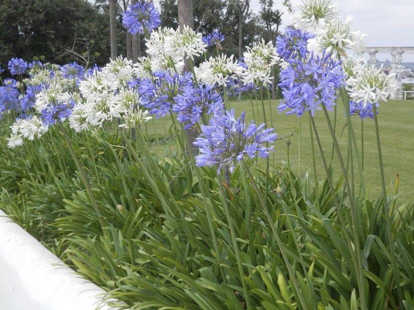Agapanto azul y blanco, una planta muy bonita