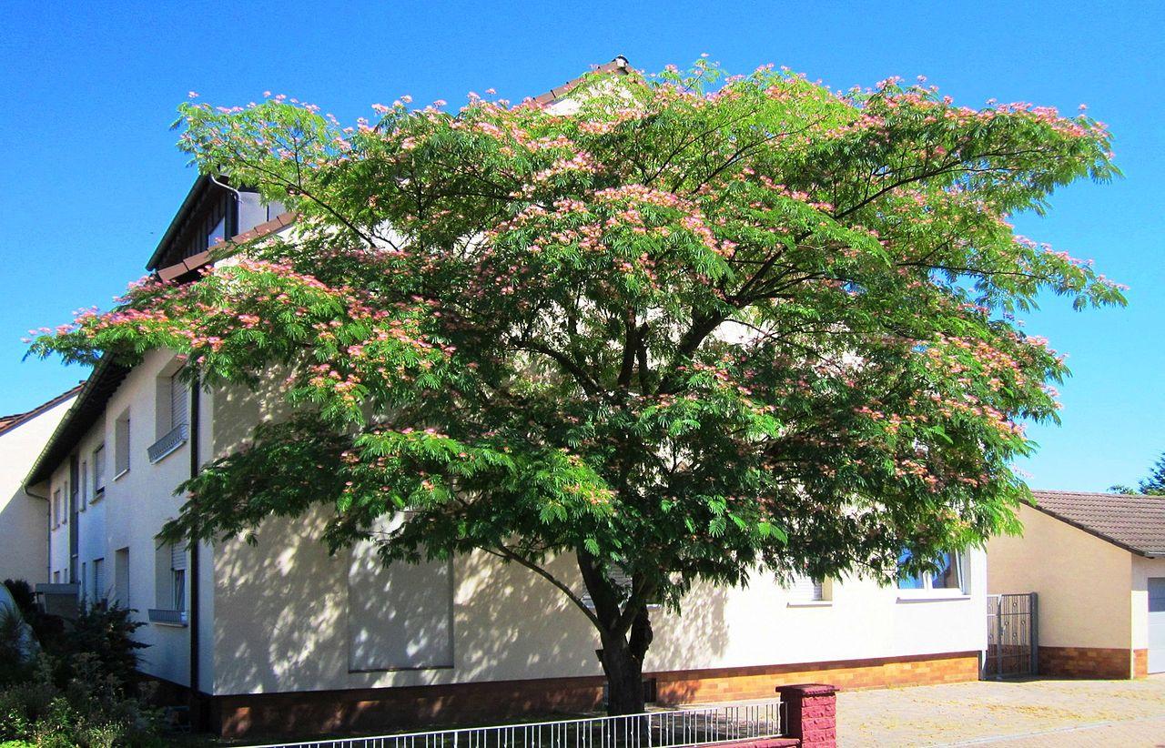 La Albizia julibrissin es un árbol caducifolio