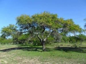 Algarrobo adulto en un parque