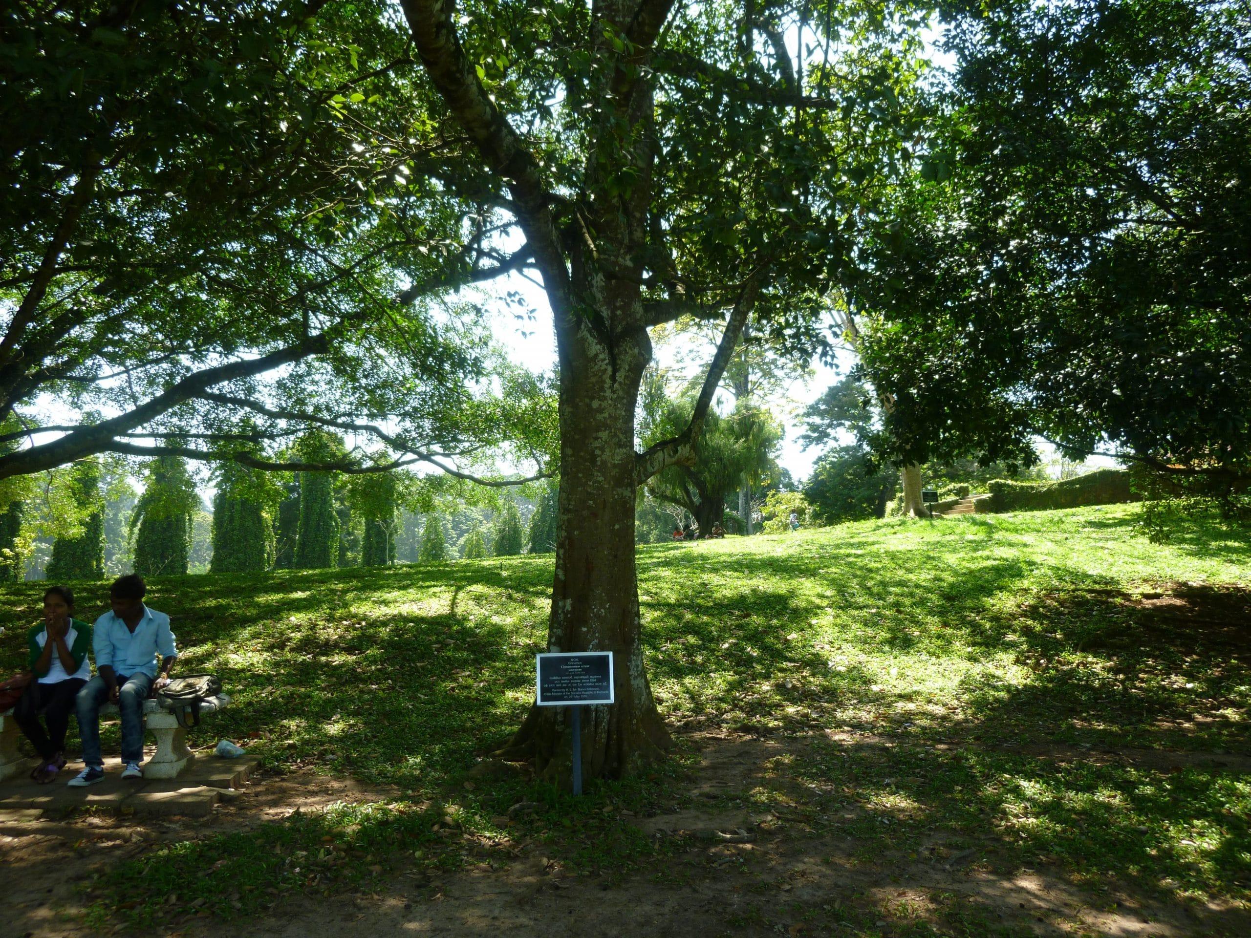 Árbol canela, una planta tropical