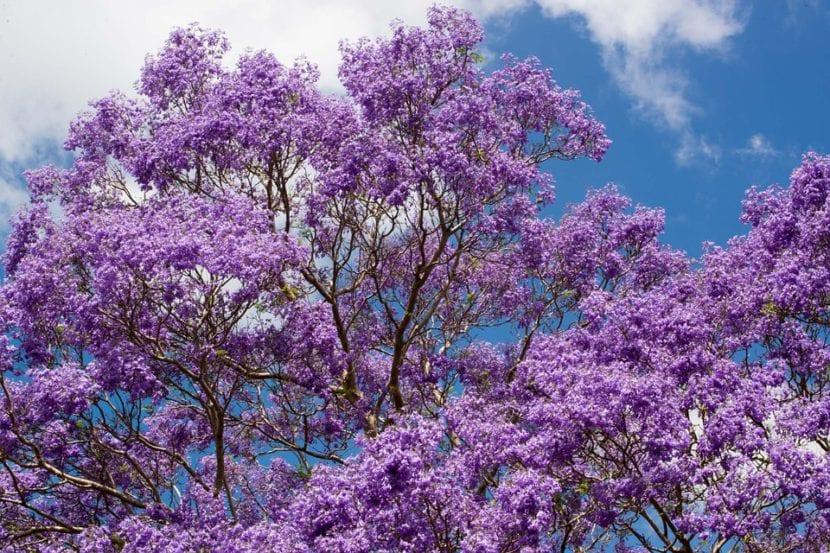 Árbol de jacarandá