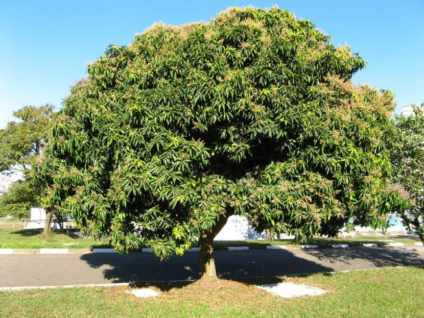 Árbol de mango en un jardín