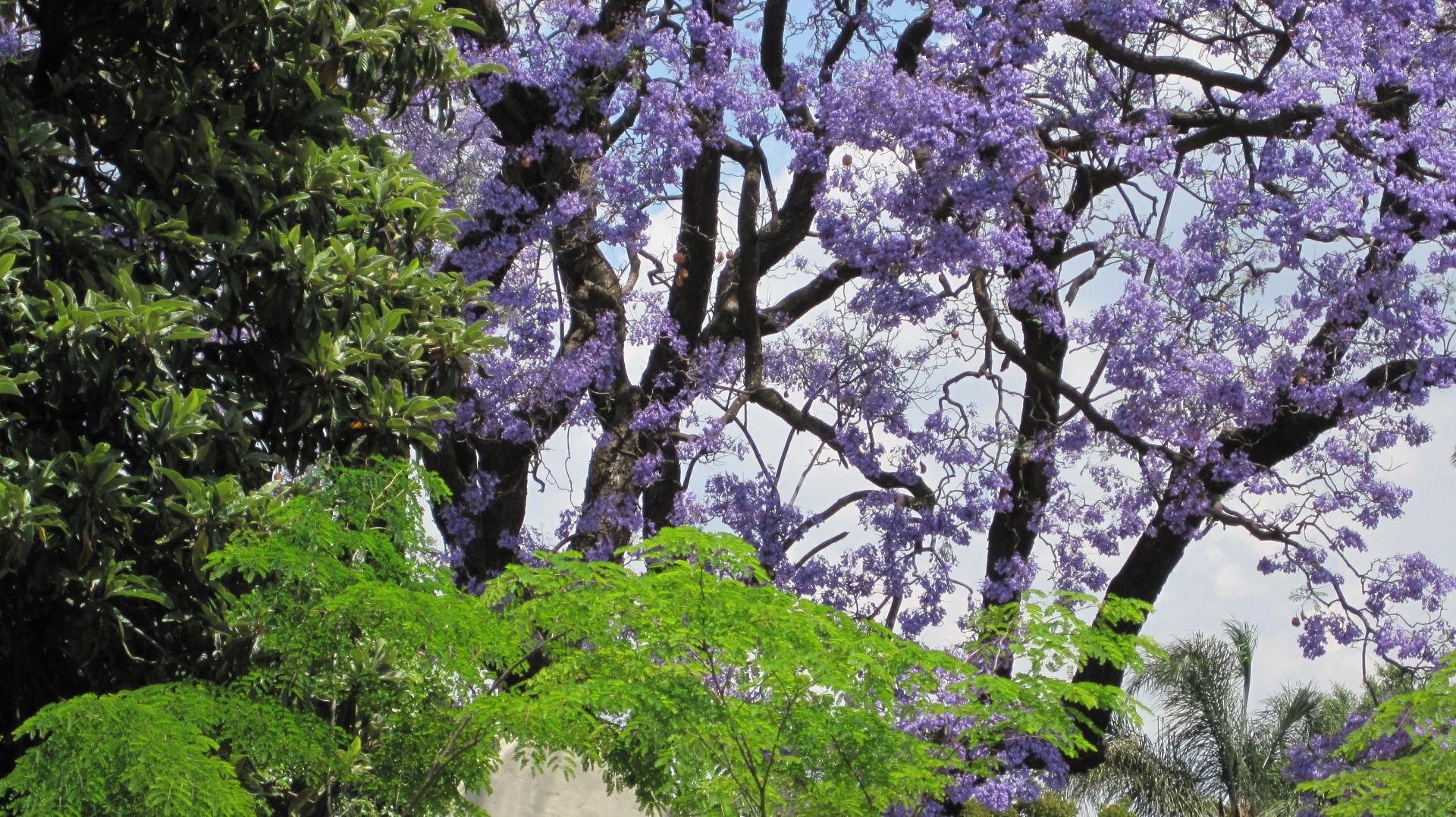 El jacaranda es un precioso árbol de jardín