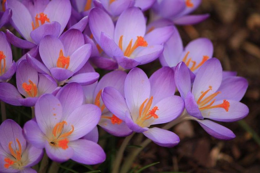 Azafrán con flores violetas