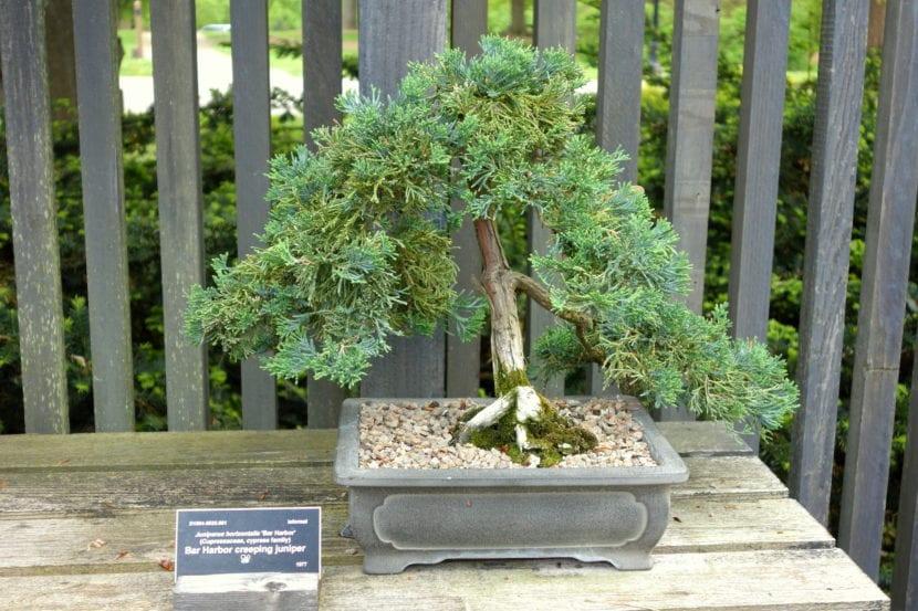 Bonsái de Juniperus horizontalis