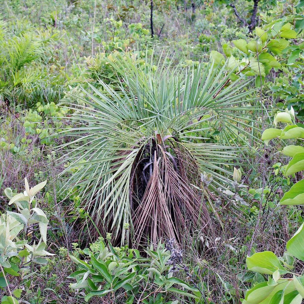 La Butia archeri es una palmera pequeña