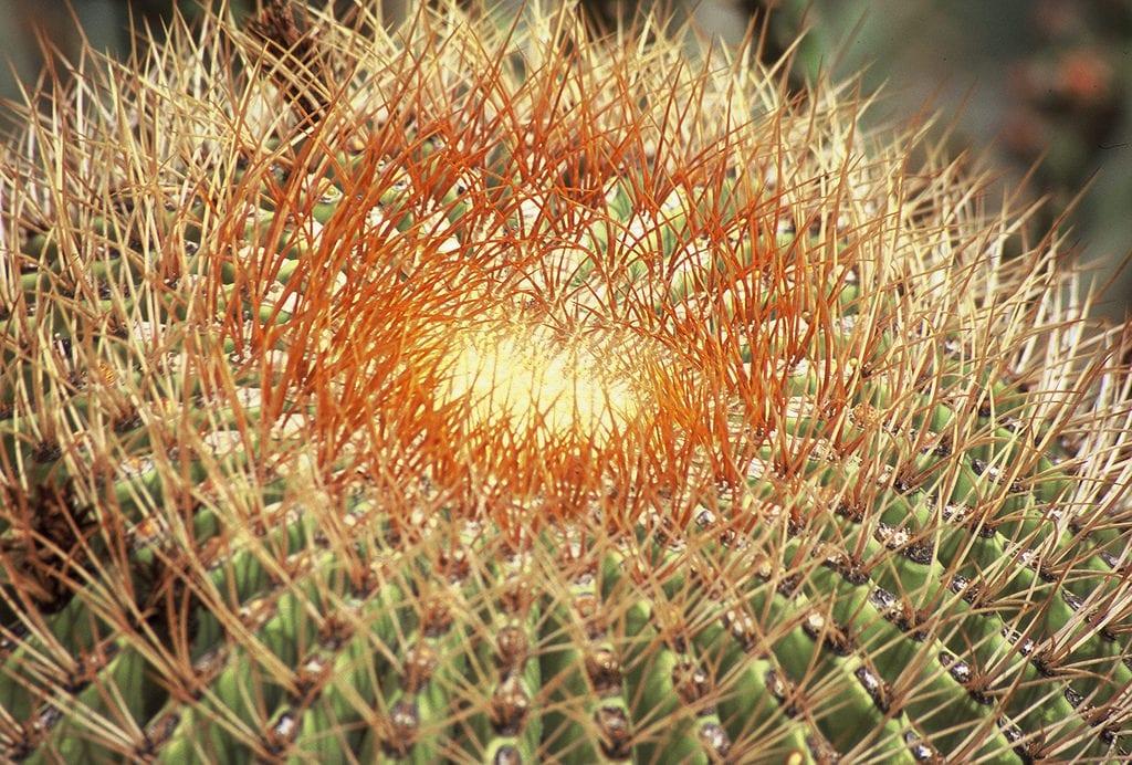 Cactus de barril