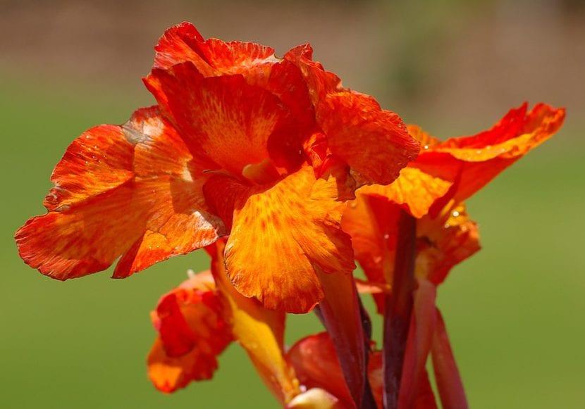 Canna indica, una flor para tu jardín salino