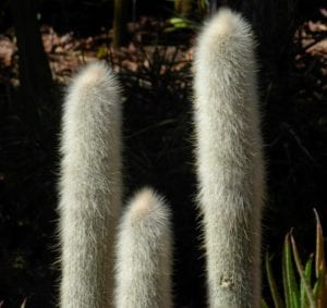 Cleistocactus straussi