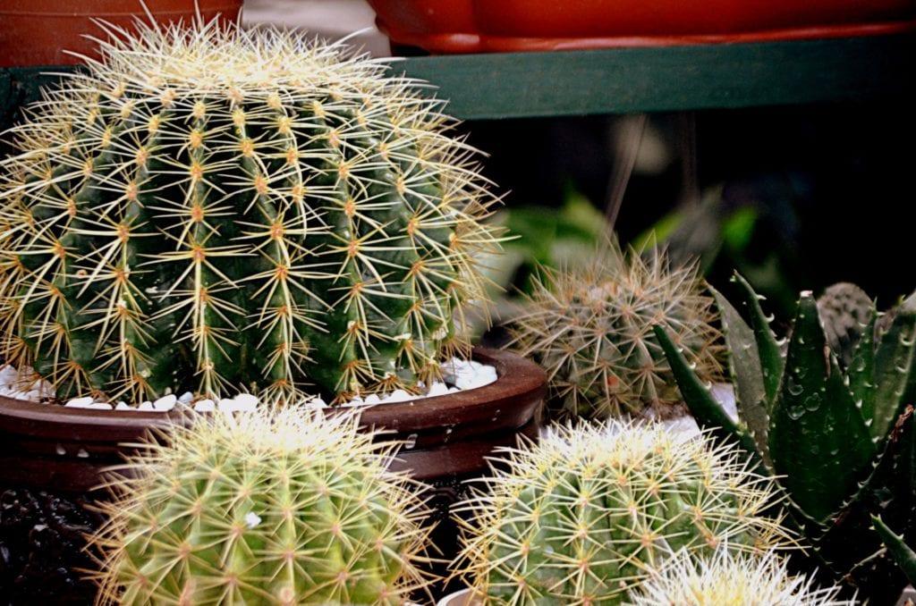 Echinocactus en maceta