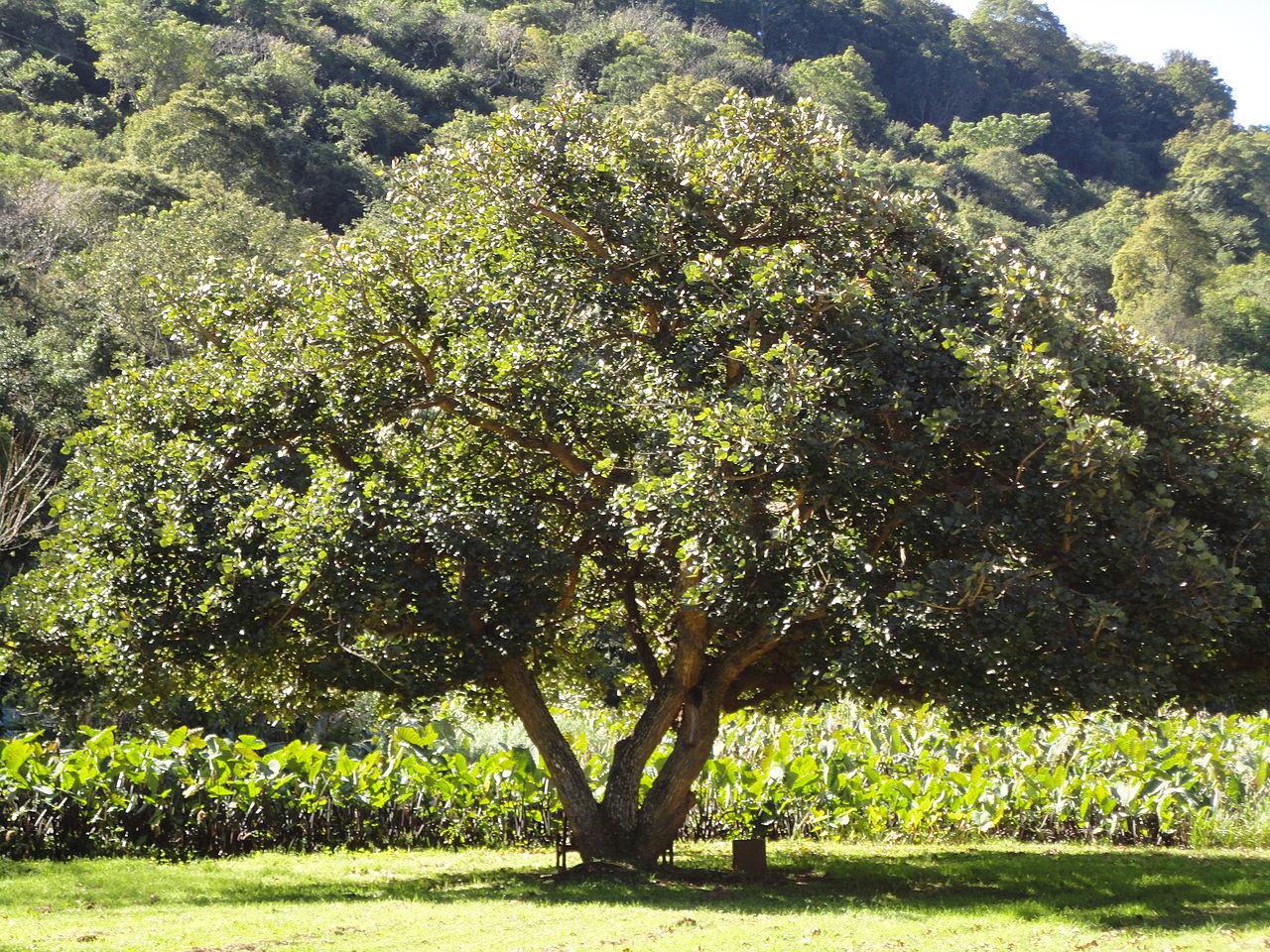 La Erythrina caffra es un árbol de hoja caduca