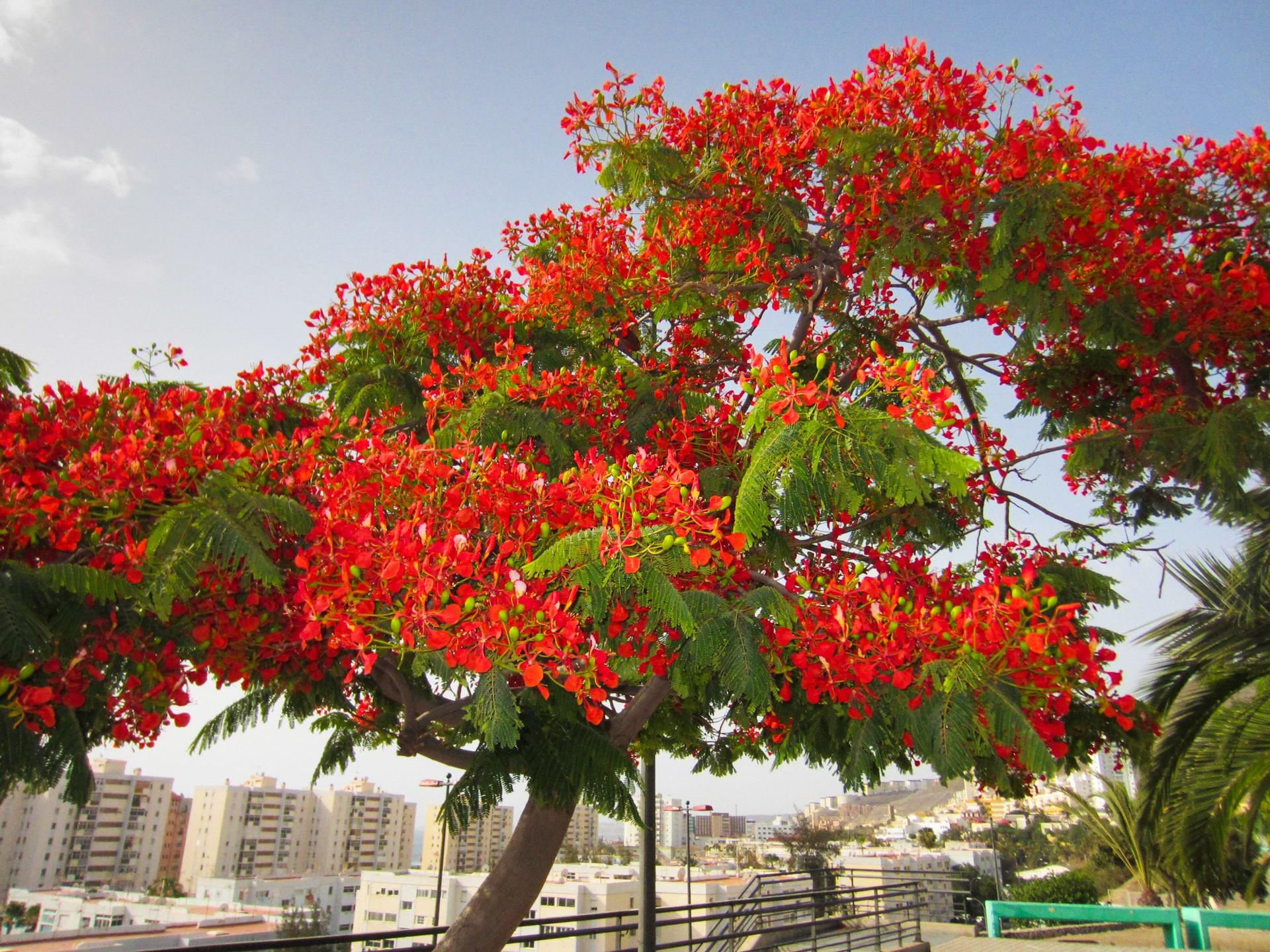 El flamboyan es un árbol perenne o semicaduco