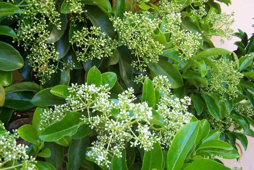 Flor del Viburnum lucidum