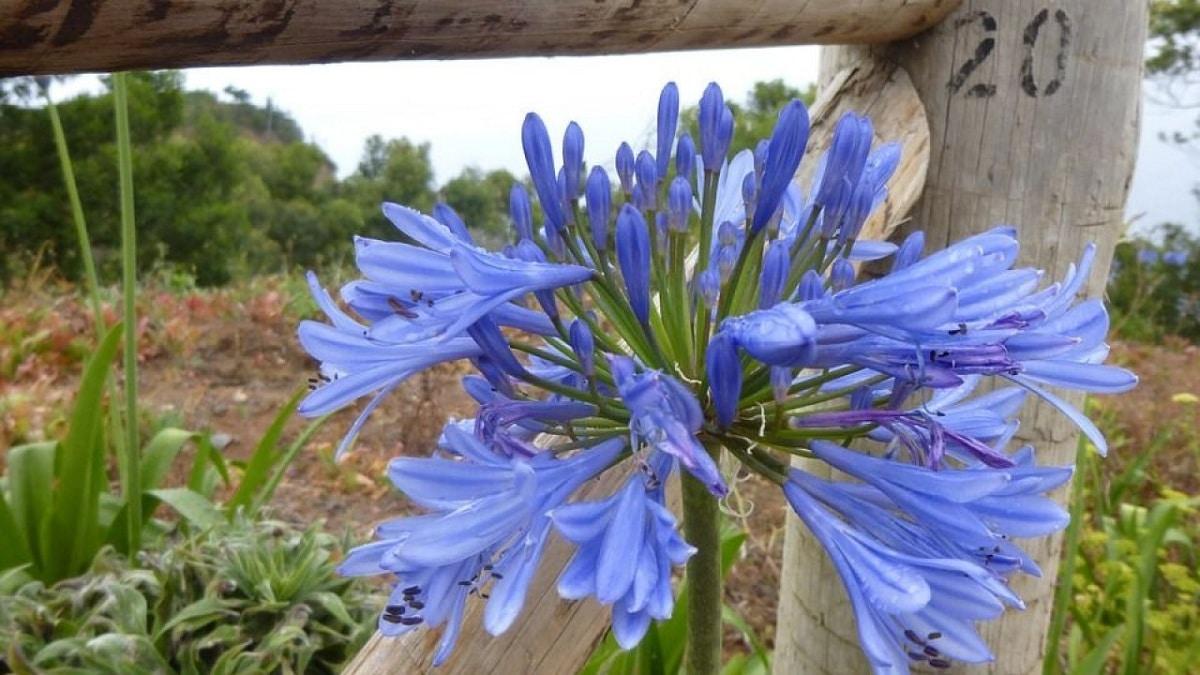 Las flores del agapanto son de tamaño medio