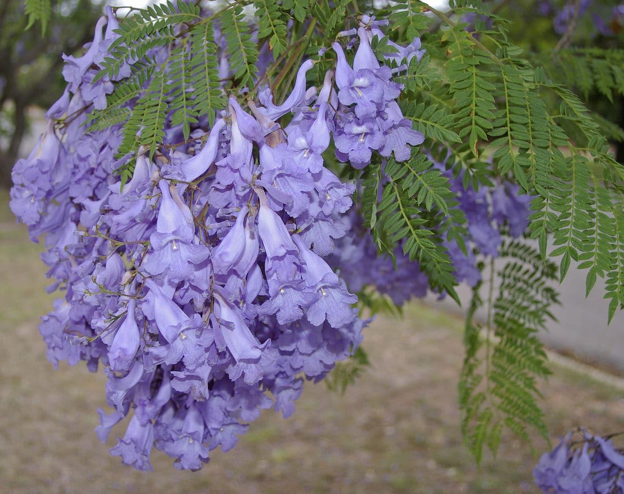 Las flores del jacaranda son violetas