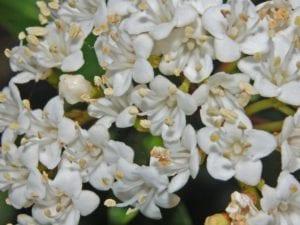 Flores de Viburnum tinus