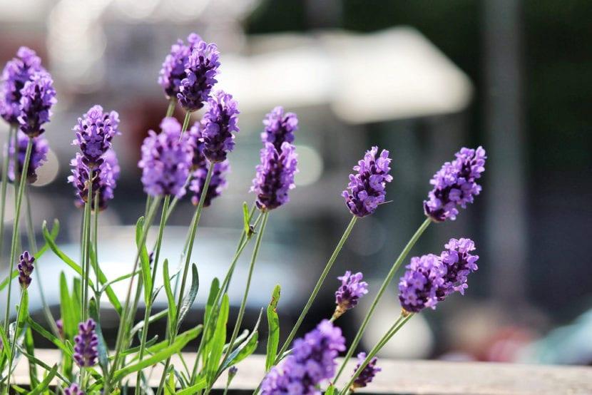 Flores de lavanda