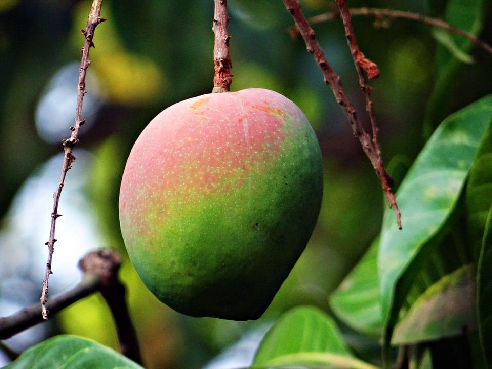 Fruto del mango