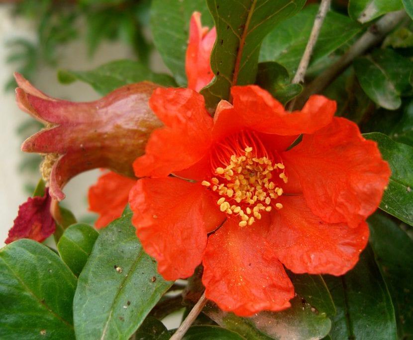 Preciosa flor de granado