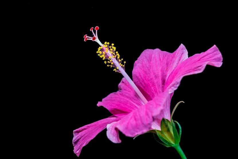 Hibiscus de flor lila